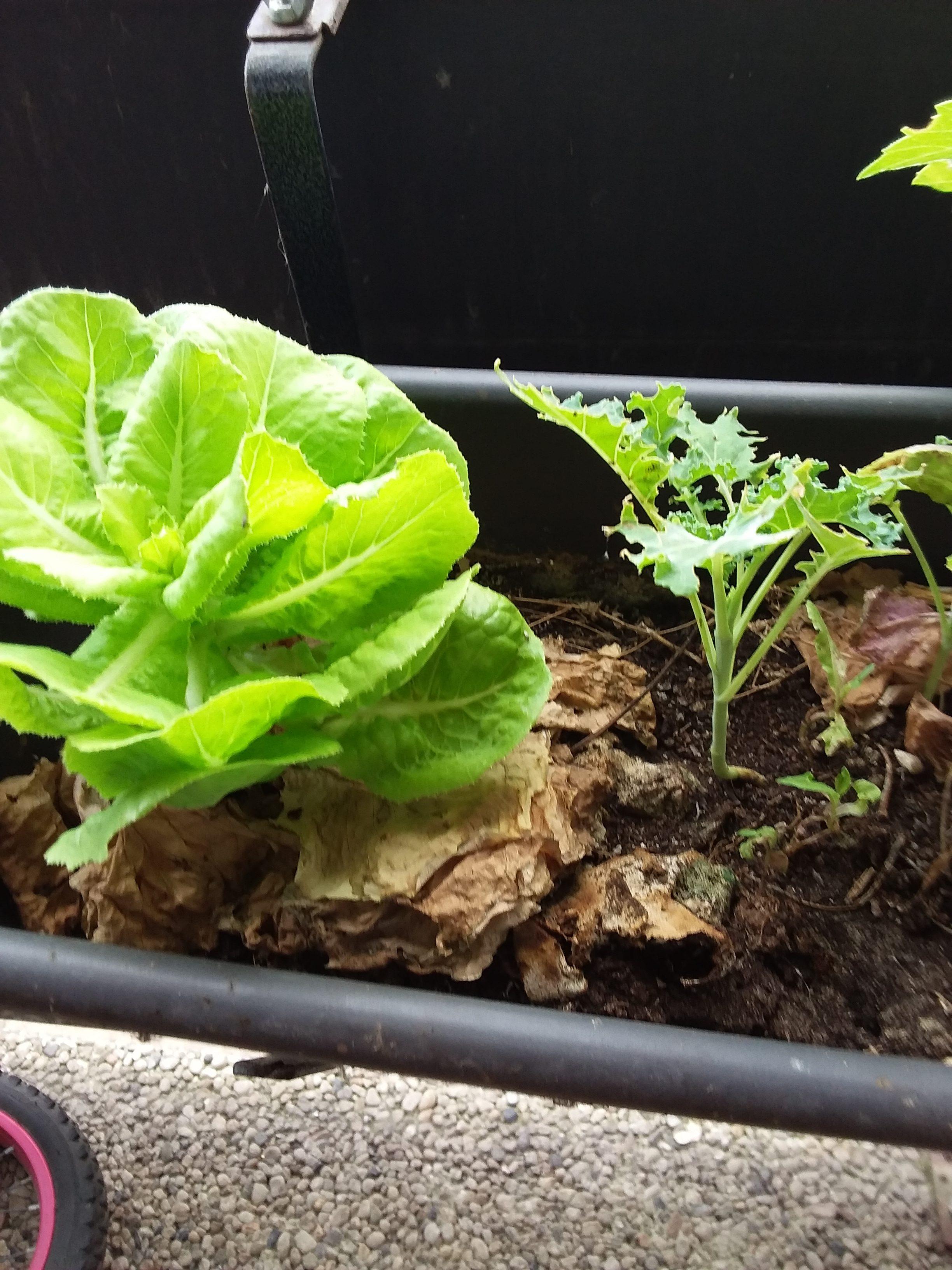 salata + kale